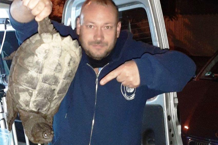 Agresszív aligátorteknőst fogtak a mogyoródi horgászok