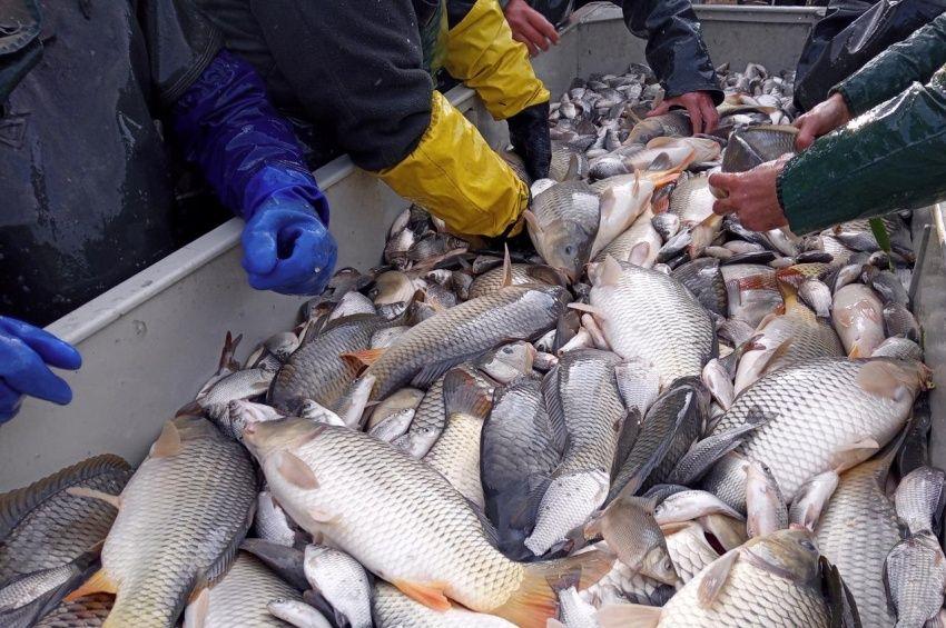 21 tonna ponty került csongrádi horgászvizekbe