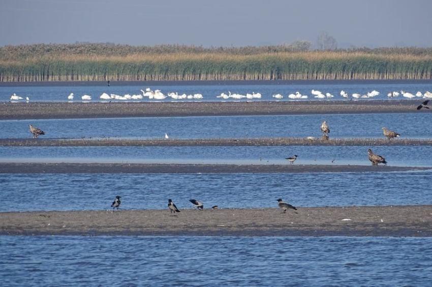 Rekordmennyiségű hattyú lepte el a Szakmári-halastavakat