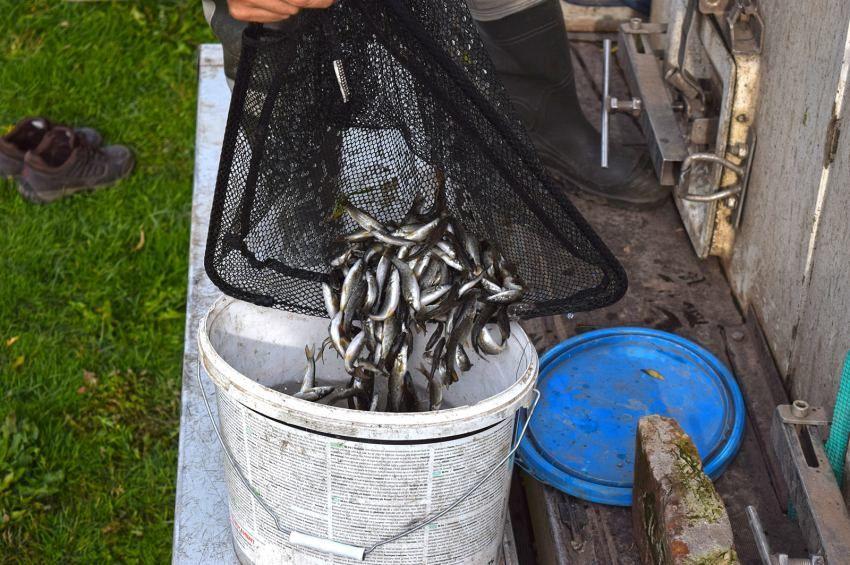 Eddig sosem telepített hal került a Körösbe
