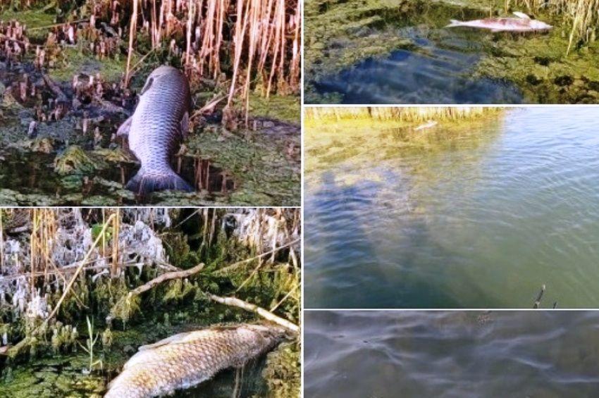 Ismét pusztulnak a halak a Velencei-tóban
