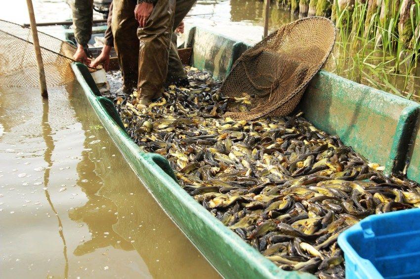 A száz mázsát közelítik a Tisza-tóból idén lehalászott inváziós halak